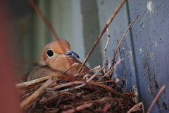 Mamma (Miss a Liss) Tags: bird nikon nest dove creative commons dslr nesting mammabird nikond300