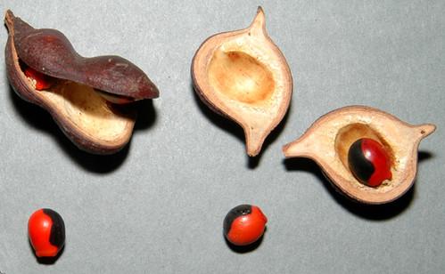 œil de chèvre - Ormosia coarctata