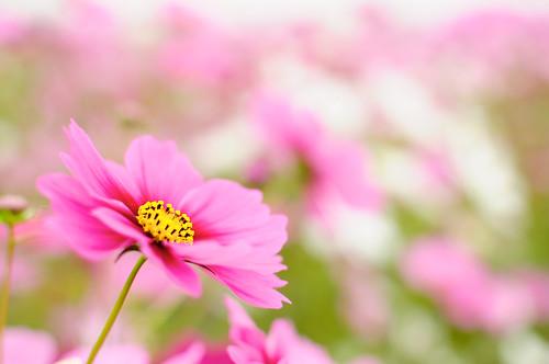 [Free Image] Flower/Plant, Asteraceae, Cosmos, Pink Flower, 201010230700