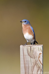 Eastern Bluebird (phil.jeffrey) Tags: usa bird nature franklin wildlife nj thrush easternbluebird sialiasialis passerine wwwcatharuscom