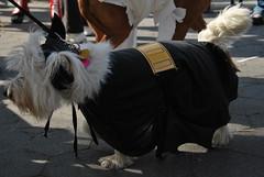 Bat Dog (thoth1618) Tags: nyc newyorkcity costumes dog pet pets ny newyork halloween animal animals brooklyn costume october brooklynheights brooklynheightspromenade parade promenade gothamist halloweenparade 2010 howloween brooklynpromenade brooklynny dogparade dogcostumes dogcostume dogincostume brooklynusa muttsquerade petsincostume dogincostumes brooklynheightsblog 103010 petincostume animalsincostumes animalincostume halloween2010 october302010 perfectpawsinc the8thannualhowloweenmuttsqueradeparade