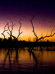 The bats are coming (Tim Bow Photography) Tags: travel trees sunset sky orange sun holiday color colour reflection nature water beautiful lines contrast landscape dead photography other amazing interesting flickr purple decay tag father scenic australia double adventure clear british welsh geotag bats svenska kununurra psdtuts timboss81 timbow flyggmus timbowphotography