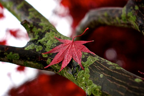 Rainy Red Leaf