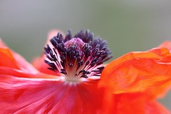 Poppy 41 (LongInt57) Tags: pink flowers red orange white flower macro green yellow grey purple blossom blossoms gray stamens pistil stamen poppy poppies bloom blooms stigma pistils stigmas
