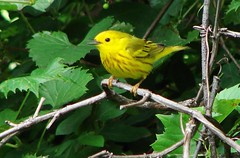 Yellow warbler (perfectday_s) Tags: bird nature yellow wings feather ornithology oiseau warbler plume blueribbonwinner ornithologie colorfulworld mywinners colorfulweek