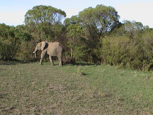Mara Elephant Solo