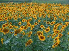 Sunflowers (audreyjm529) Tags: anawesomeshot colorphotoaward photocoloraward wowiekazowie