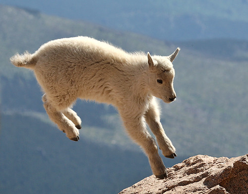Image Gallery jumping goats