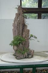 DSC_3507 (doviende) Tags: china tree shanghai bonsai   botanicalgardens  penjing