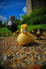 cute (camperman999) Tags: birds animals yellow babies wildlife fluffy chick ely gosling babybird natures supershot mywinners naturesbabies naturesexquisite naturessuperstarbaby thebestyellow