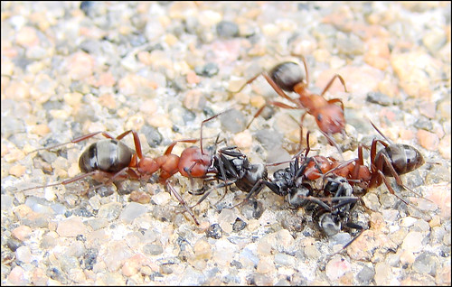 War-of-the-ants-III