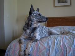 Hotel California (Texas Flyer) Tags: blue dog pet colors hotel bed cattle sweet casio blanket daisy mansbestfriend paws australiancattledog heeler blueheeler exz57 texasflyer