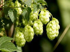 Hops, used primarily as a flavoring and stability agent in beer, and also in other beverages and in herbal medicine.