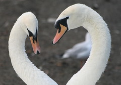 Love Birds (mettca) Tags: love heart swans finest natures naturesfinest