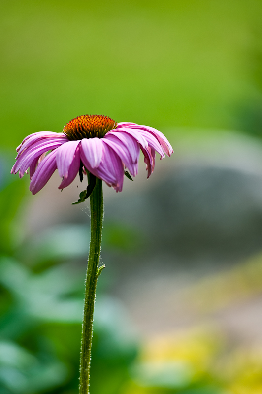 Day 218: Cone Flower