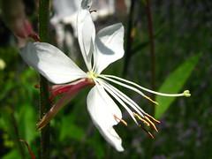 Gaura lindheimeri (ekenitr) Tags: pink flowers white plant flower netherlands fleur rose juni garden nederland rosa blume wit blanc roze bloem zuidholland gaura onagraceae weis gauralindheimeri wonderfulworldofflowers ekenitr