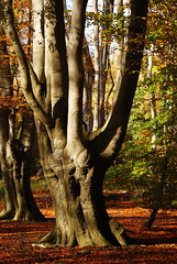 Beech Tree in Epping Forest (1)