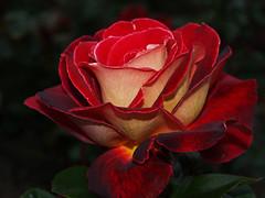 Roza - Rose Teehybride Yakimour (arjuna_zbycho) Tags: roses flower rose austria österreich olympus gül blume baden rosas niederösterreich macrophoto زهرة kwiat rosae badenbeiwien e500 róża rosu róże rakousko makrofoto trandafiri trandafir flickrsbest doblhoffpark الورد roselovers flickrdiamond searchandreward onlythebestare biosphaerenparkwienerwald gülsevenler absoluterouge