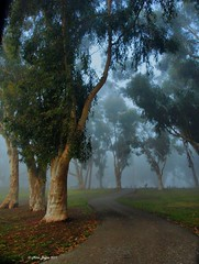 Trees in Fog (Mine Beyaz) Tags: california park trees tree grass misty fog foggy sis february brea agac sisli tricitypark agaclar cimen thebestofday gnneniyisi minebeyaz