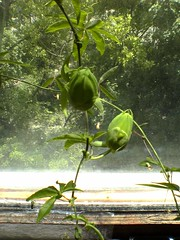 Dsc02846 (bvr_poste) Tags: passiflora