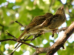 Pals (Tiffibunny) Tags: tree bird nature animal yard backyard wildlife branches pair sparrow perch housesparrow