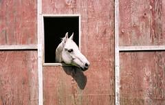 Horse (Felip1) Tags: olympus35sp realafilm nelsonfoto grabshotstraightenedinpsp