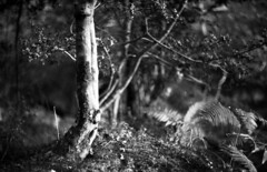 Longcross Holly (Skink74) Tags: uk trees england blackandwhite bw film 35mm mono bokeh hampshire holly a1 ferns expired canona1 newforest f12 panf longcross fl58mmf12 canonfl58f12 ilfordpanf50plus filmdev:recipe=5076