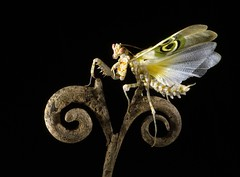 Easy Rider (Nitsirk Eel) Tags: show me animal mantis insect wings quality your pixels bicho mantid specinsect diamondclassphotographer flickrdiamond