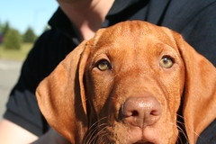 Vizsla puppy - 10 weeks old (melanie.phung) Tags: animals puppy puppies vizsla vizslas melaniephung