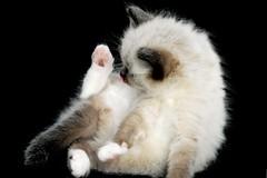 don't move (caz gordon,) Tags: pet baby cute animal blackbackground cat nikon kitten blueeyes adorable kittens cuddly paws washing balanced ragdoll 6weeks mitted angellic catmoments bluesealpoint