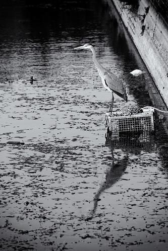 Heron, Fort Brockhurst Moat