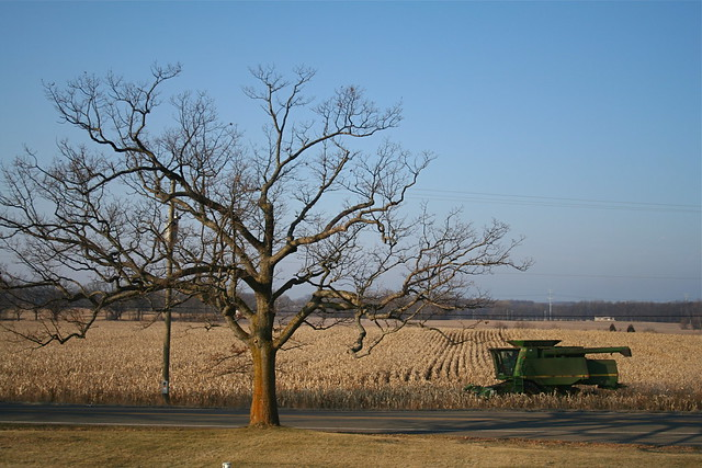 Oak Tree and Corn Field Harvest