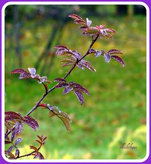 Dew Drop Rose Branch (clickclique) Tags: fall leaves rose dof bokeh sparkle dew mauve discoveryphotos
