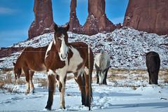 Navajo Ponies (dolphin2421) Tags: arizona horses ponies monumentvalley mesa 2470l navajotribalpark canon2470l canoneos5dmkii canoneos5dmkll mygearandme