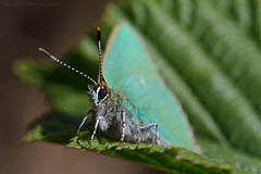 The brave one.. (Ollie_57) Tags: england macro green fauna canon butterfly insect leaf spring flora dof ngc may devon 7d teignmouth 2011 greenhairstreak callophrysrubi tamronsp90mm ollie57 hggt haldonheath