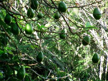 avocado in the garden