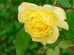Rosa di rugiada (Luca Cherubin) Tags: flowers macro green nature colors colore details rosa natura giallo dew dettagli fiori rugiada belluno