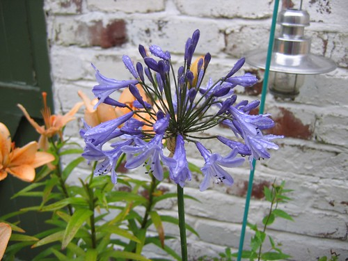 Agapanthus flower - grown from seed