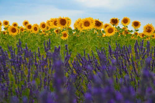 Lavender  and Sunflower Fields
