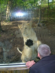 Lion Cub at Edinburgh Zoo (The Mucker) Tags: zoo cub scotland edinburgh lion bigcat