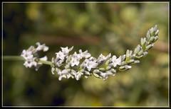Bent silver-grey lavender (spodzone) Tags: plant flower green closeup silver grey scotland flora focus colours dof bokeh extreme perthshire lavender perth