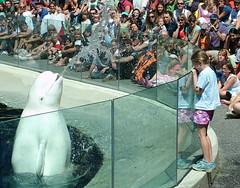Vancouver Aquarium Beluga whale