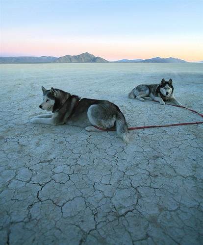 フリー写真素材, 動物, 哺乳類, イヌ科, 犬・イヌ, シベリアン・ハスキー,