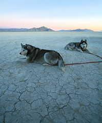 [フリー画像] 動物, 哺乳類, イヌ科, 犬・イヌ, シベリアン・ハスキー, 201103031100
