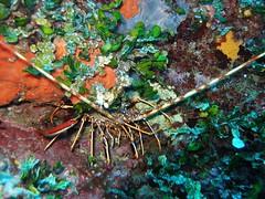 13lh4.jpg (coismarbella) Tags: mergulho dive scuba diving buceo submarinismo tauchen columbretes plonge crustaceos