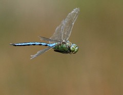 Dragonfly (AlexYoung) Tags: cornwall dragonfly comp countryfile superbmasterpiece lightstylus