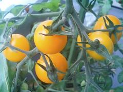 ミニトマト(黄色)