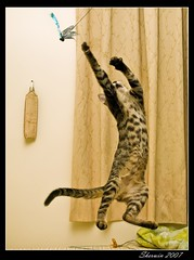 catch! (Sherwin_andante) Tags: cat soe toro 貓 2007 e510 superaplus aplusphoto 200708 kittystormtroopers platinumheartaward 龍二