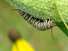 Munching on milkweed (ET Photo Home!) Tags: flowers searchthebest insects caterpillar monarch milkweed naturesfinest anawesomeshot