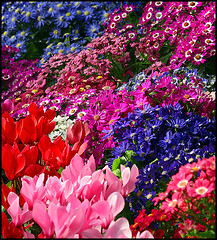 a2271 A Blaze of Spring Colour (tengtan (away awhile)) Tags: show pink flowers blue red colors colours display blossoms australia melbourne conservatory species blooms cineraria foreground cyclamens fitzroygardens naturesfinest irresistiblebeauty auselite colourartaward artlegacy excapture